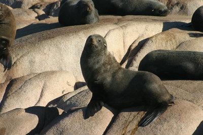 Seelöwen, Cabo Polonio, Rocha, Uruguay